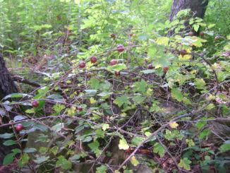 Wild gooseberries growing beneath mature white pines