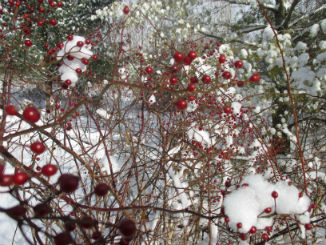 Bright red rose hips in february