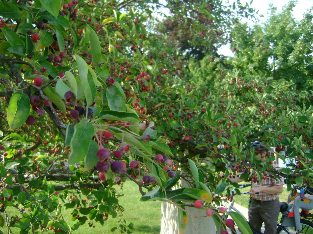 Juneberries/ Serviceberries