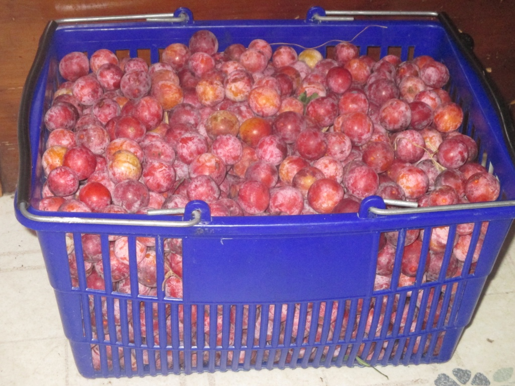 Basket of American plums, what a gift.