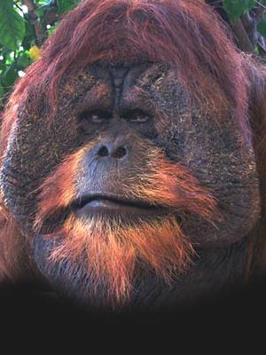 9_orangutan.jpg