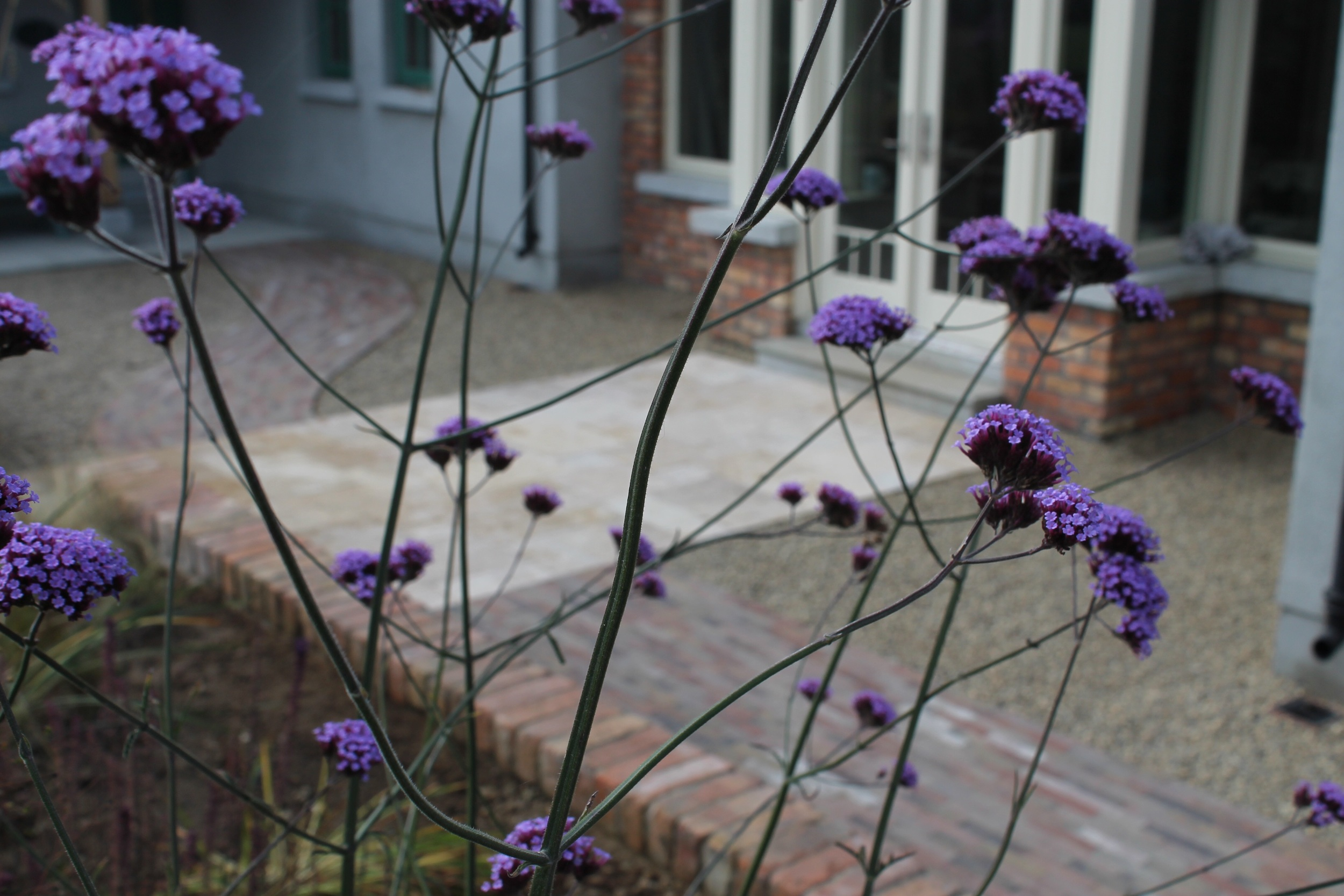 Peeping through a beautiful Verbena at a Travertine patio we installed last week in Ballymore Eustace.