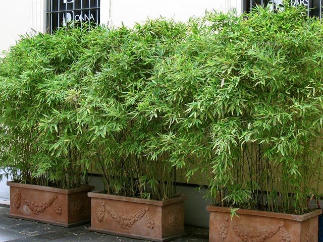 If you are going to plant bamboo in a pot use a good quality pot which will take the pressure of the root.