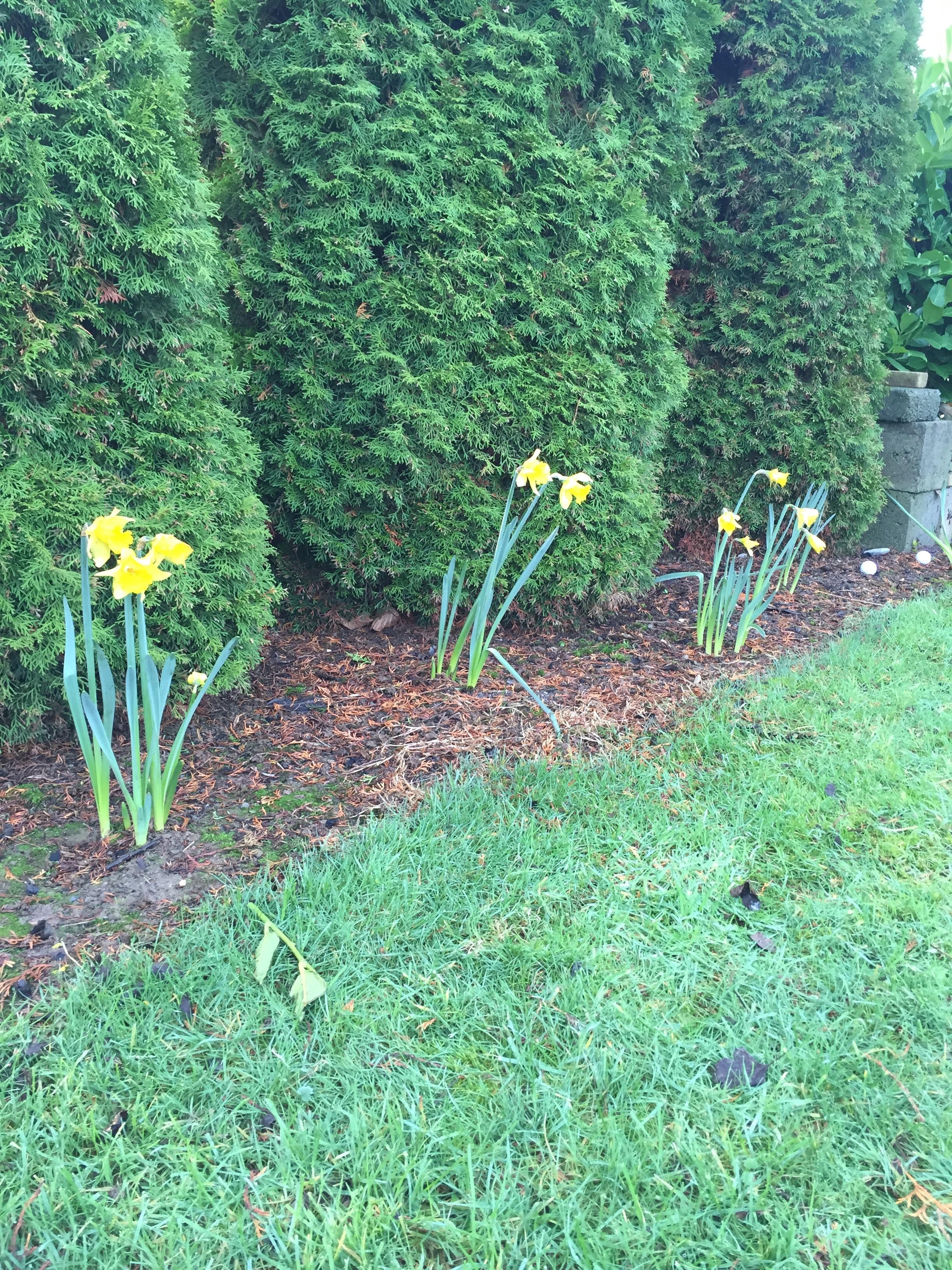 Daffodils in January