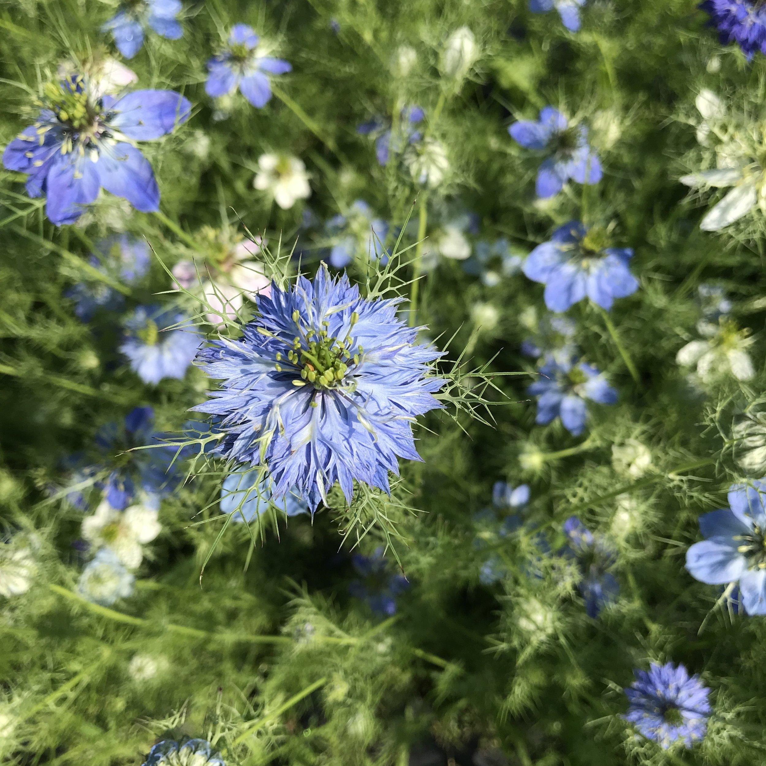Nigella, Delft Blue