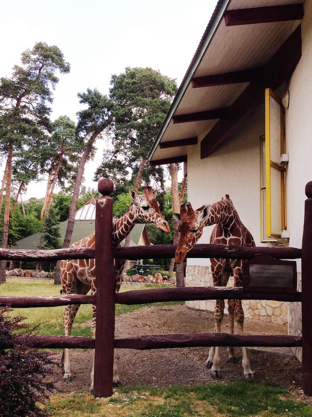 debrecen-ana-tess-giraffe.jpg