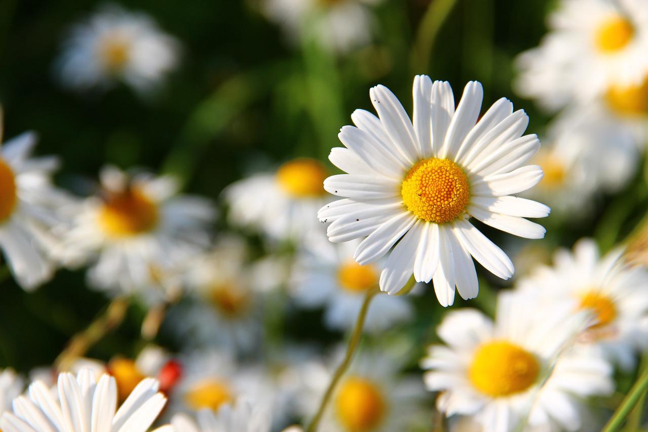 daisies-276112_1280.jpg