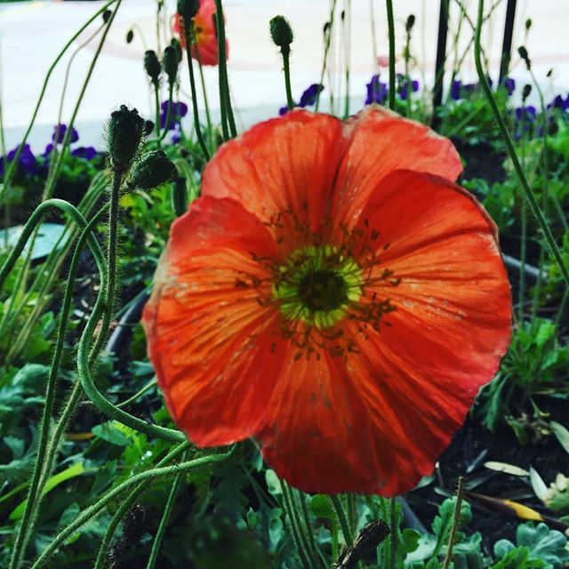 Common poppy on campus