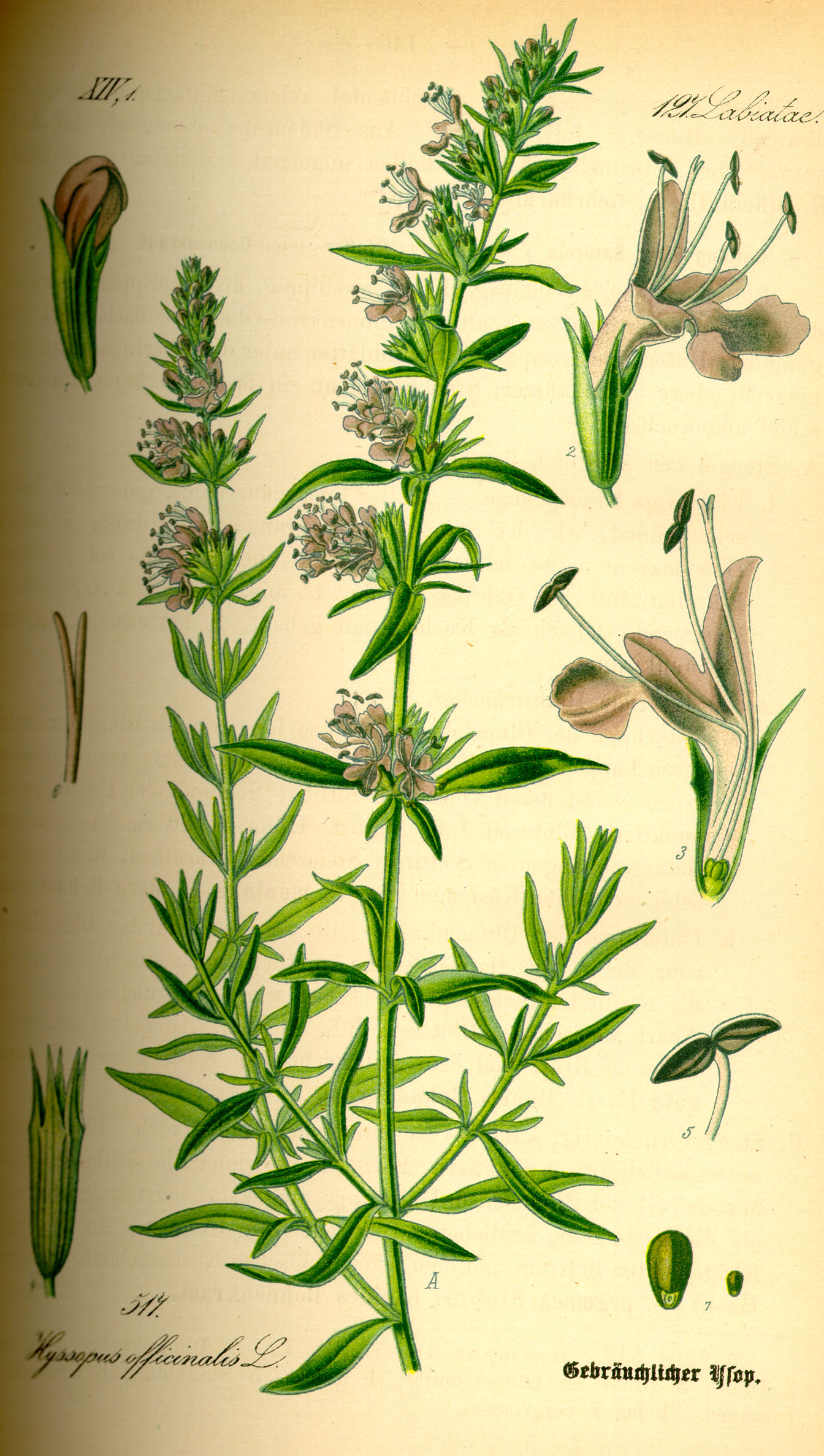 """Illustration Hyssopus officinalis0"" by User:Topjabot - Original book source:Prof. Dr. Otto Wilhelm Thomé Flora von Deutschland, Österreich und der Schweiz 1885, Gera, GermanySource: www.biolib.de. Licensed under Public Domain via Commons - https://commons.wikimedia.org/wiki/File:Illustration_Hyssopus_officinalis0.jpg#/media/File:Illustration_Hyssopus_officinalis0.jpg"