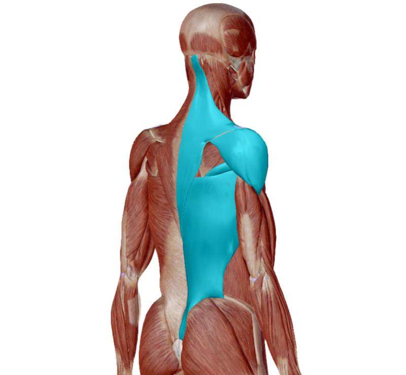 Back of the body - Trapezius, Deltoid, Teres Major and Latissimus Dorsi