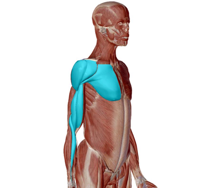 Front of the body - Deltoid, Pectoralis Major, Biceps Brachii, Brachialis, Brachioradialis