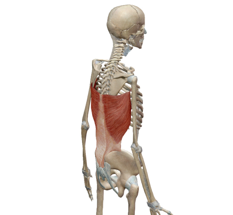 Increased Flexibility - Look at the attachments of this muscle! It fans out from the back of the arm to the base of the pelvis and attaches to all the lower ribs too.
