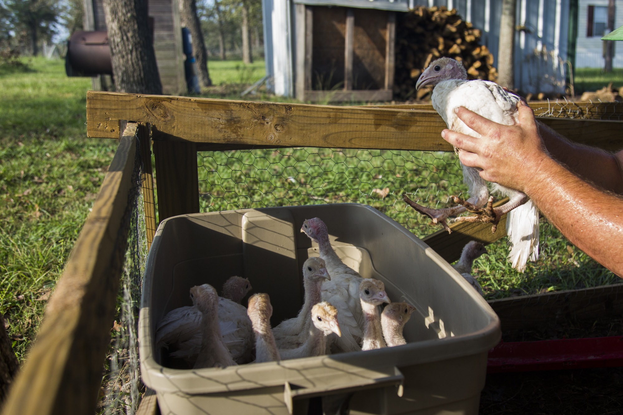 Keller places some of his larger turkeys in a tub before transferring them over to their temporary mobile pen.