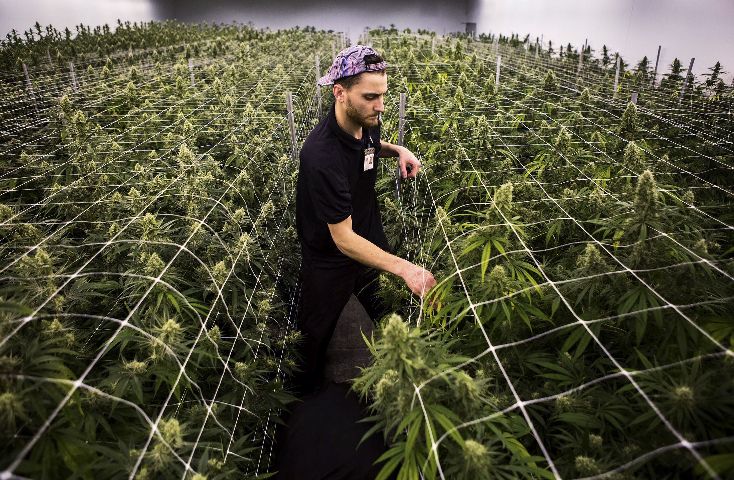 Chase Neumann helps trim plants in one of the grow rooms on Wednesday, Jan. 16, at Smokey Point Productions' Rolling Farms in Arlington. Smokey Point Productions', The Clone Zone, an extension farm that employs 30 workers, faces a state-mandated shutdown after receiving four, non-criminal violations between 2015 and 2017.