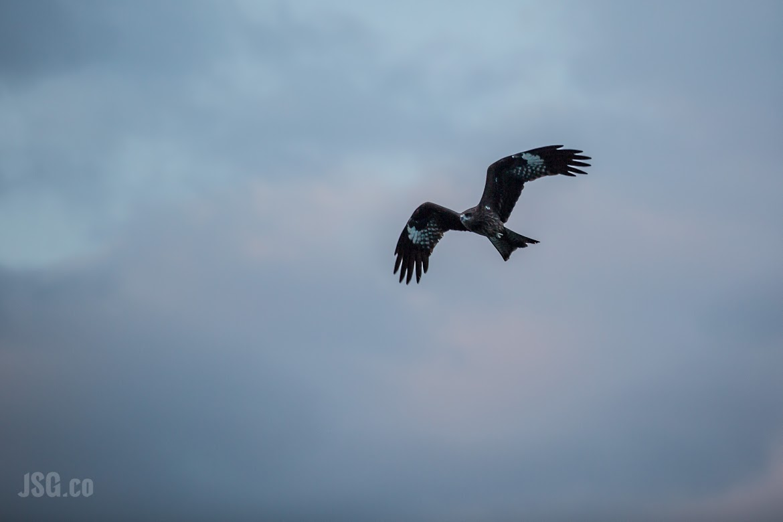 A hawk high up in Halong Bay.