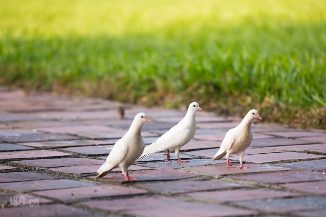 A pigeon promenade on temple grounds.