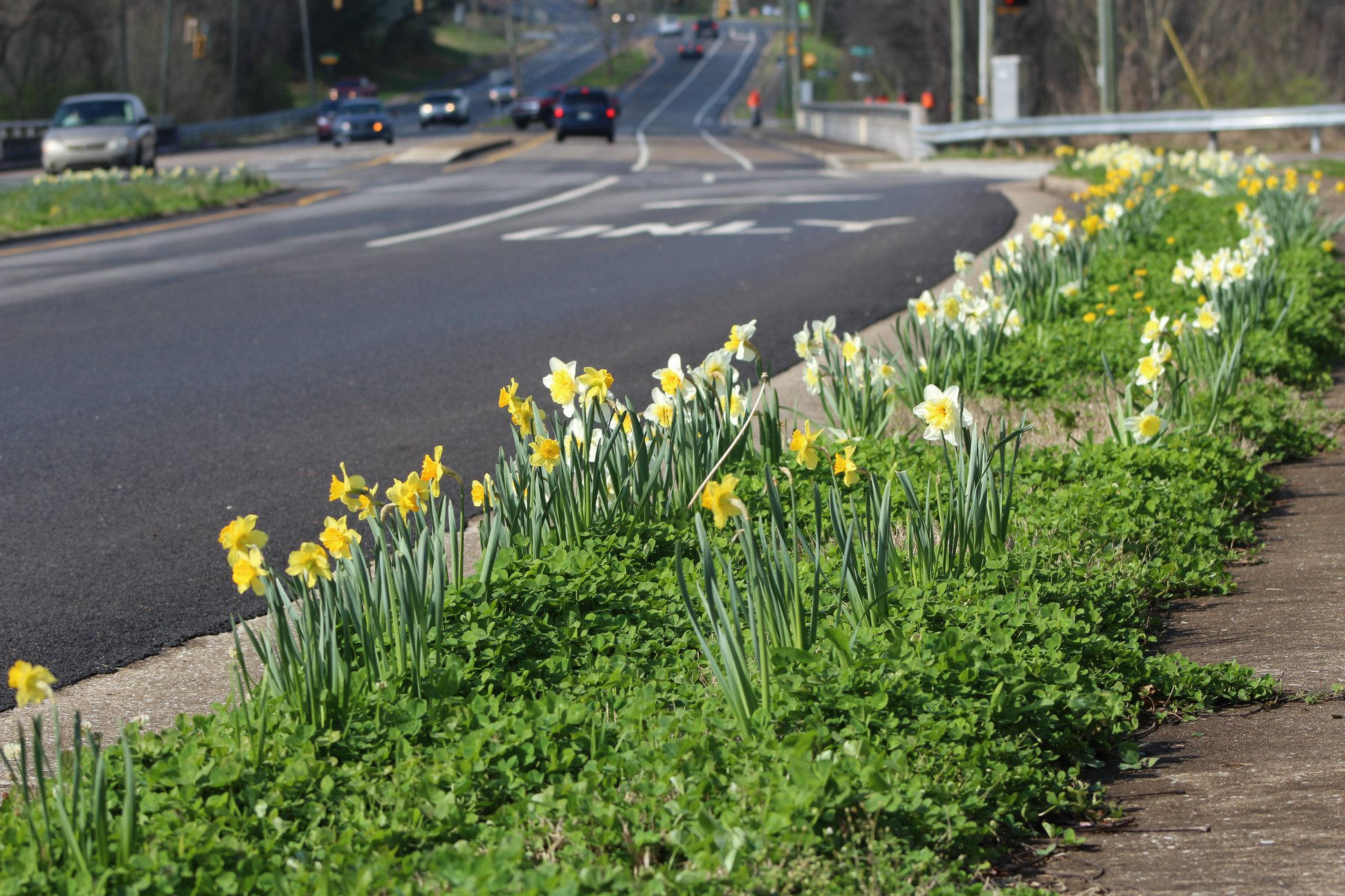 2016   2,000 daffodil bulbs planted along Sevierville Pike in South Knoxville.