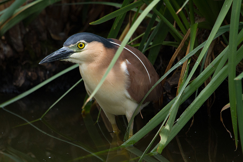 The Nankeen Night Heron relies on healthy wetlands.  Photo: David Paul/Museum Victoria