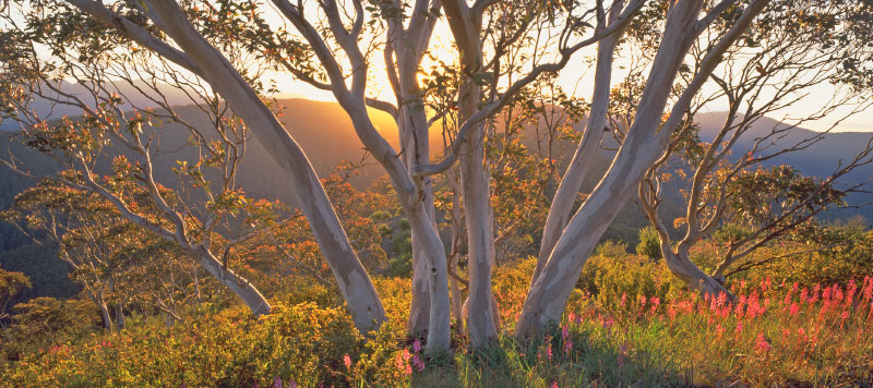Snow Gums in the Alpine National Park. Photo: Rob Jung