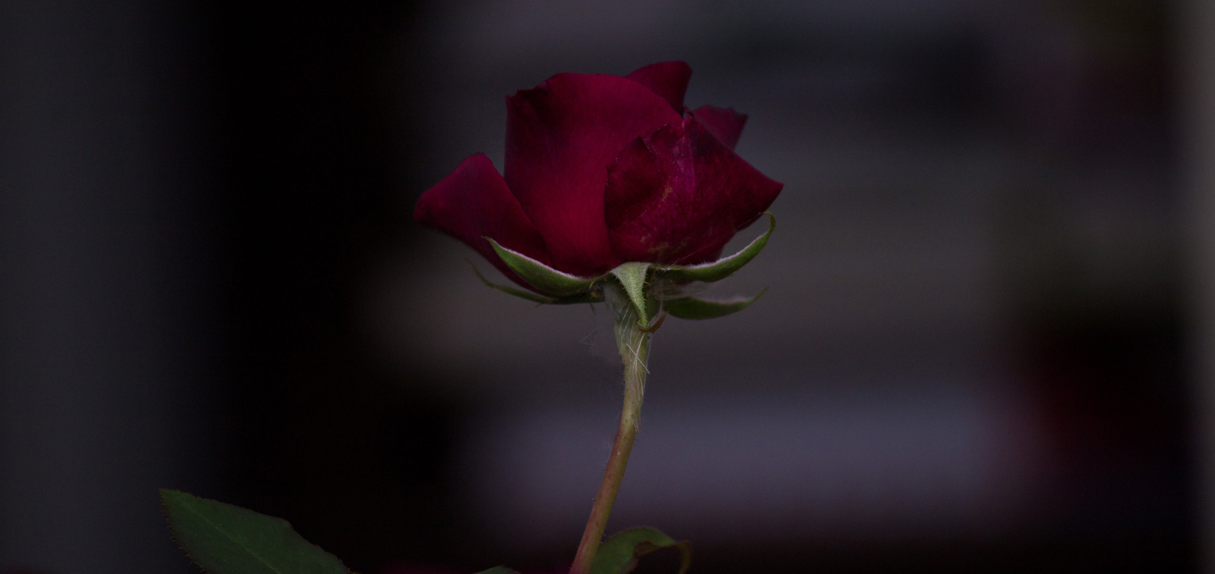 Singular Rose Bud
