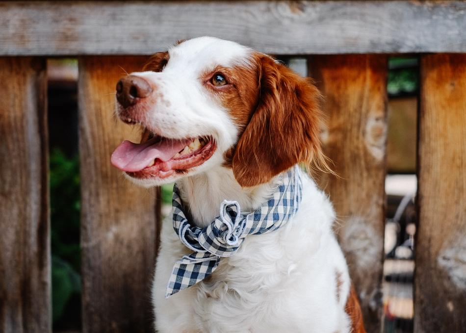Dog_Bandana_Blue_White_Gingham_SUNDAYS_Brittany_Spaniel-8544.jpg