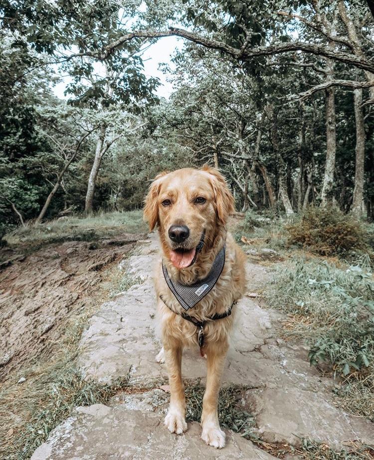 Dog_Bandana_White_Black_Herringbone_SUNDAYS_Winston_Golden_retriever.jpg