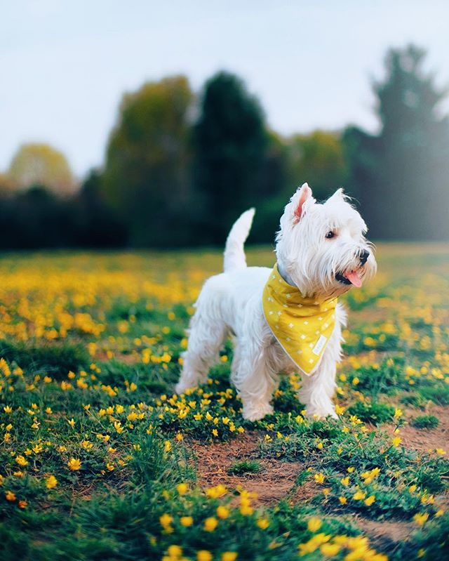 Nothing quite like Spring! 🌼🌸 | @andi_the_westie in the Pistachio X