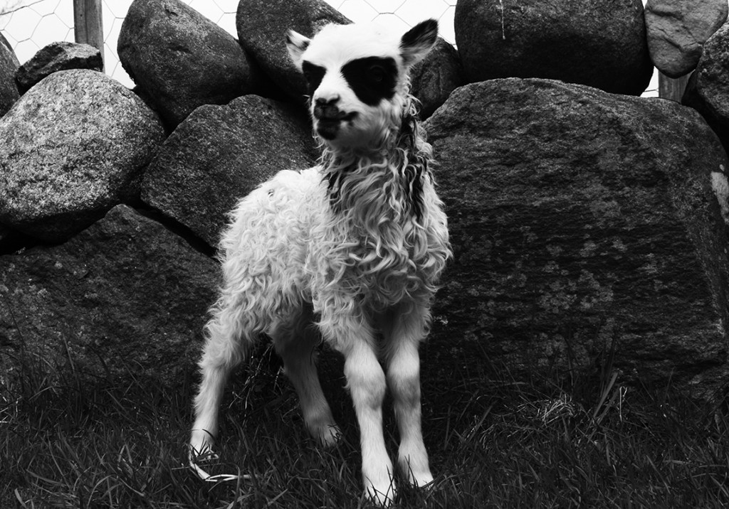 Black-Metal-Sheep.jpg