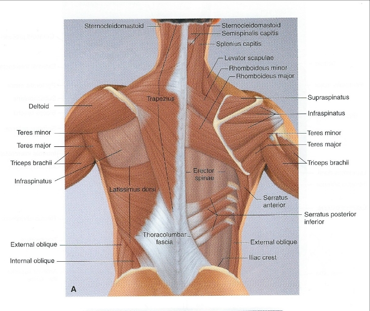 Muscles of the neck, shoulders, and trunk--posterior view (from Thompson W.R.   ACSM's Resources for the Personal Trainer.  Baltimore: Lippincott Williams & Wilkins; 2010).