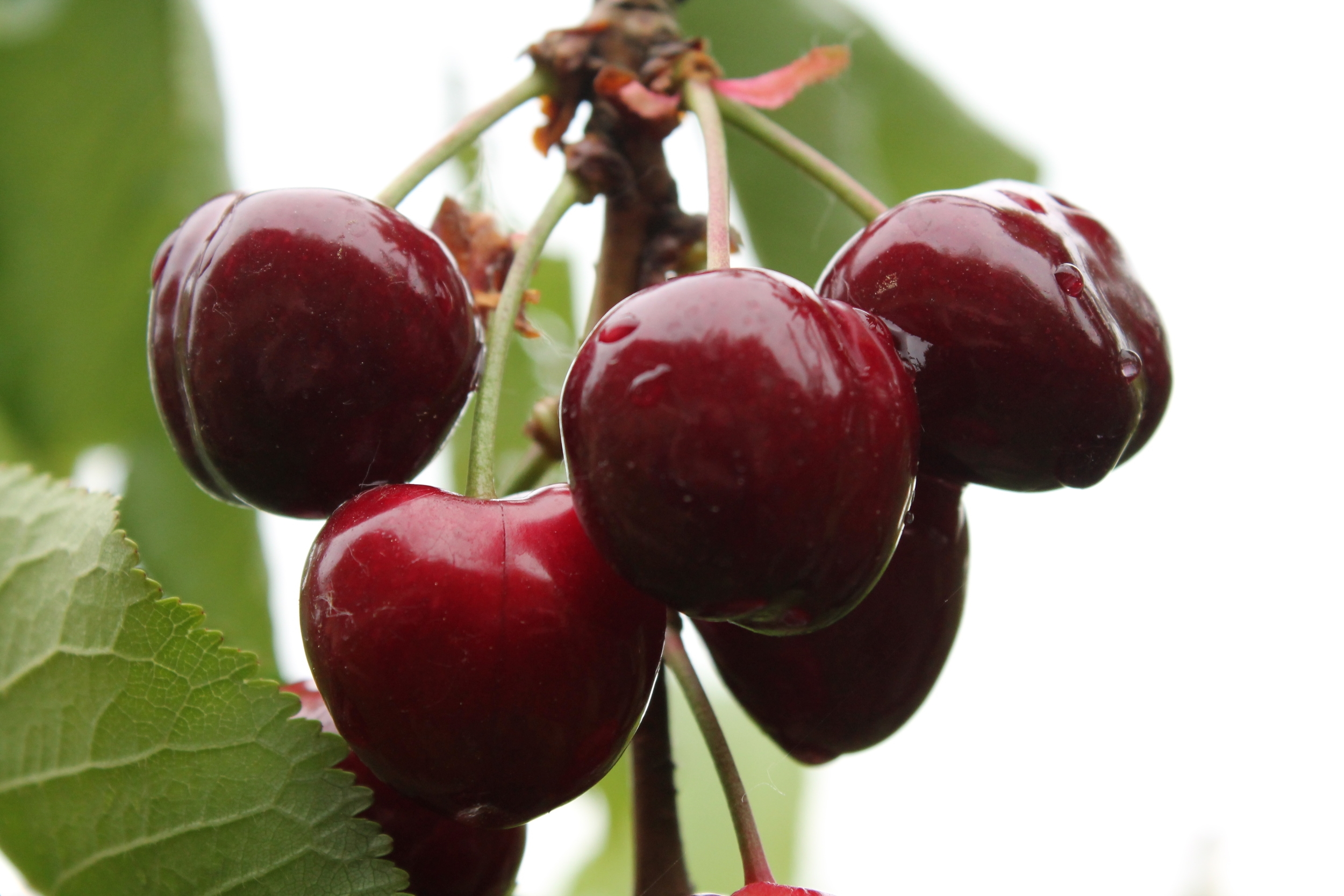 cherries-wiki.jpeg