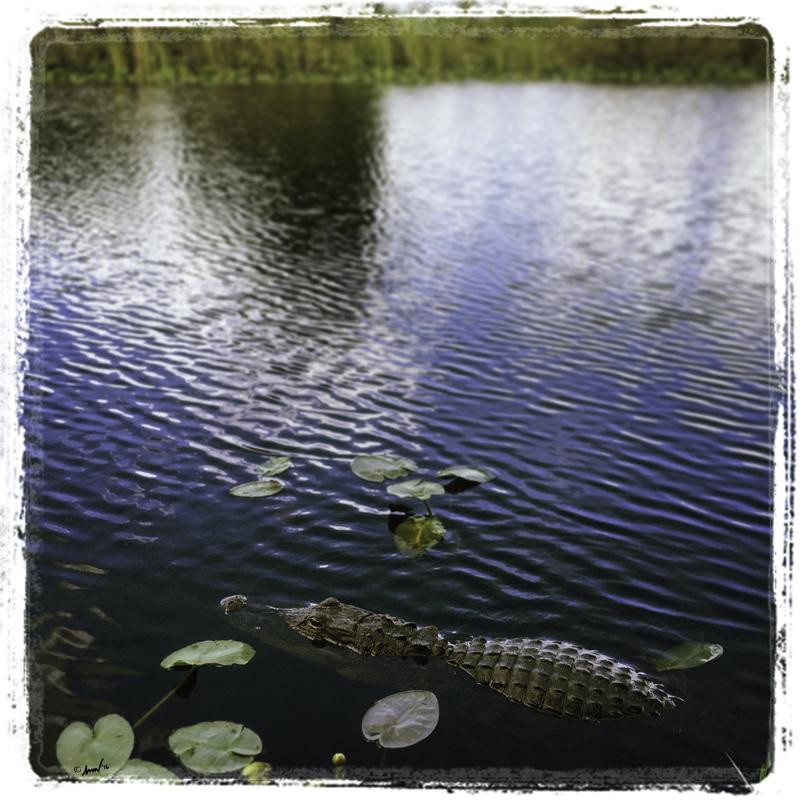 170 3752 Alligator 7.5.jpg