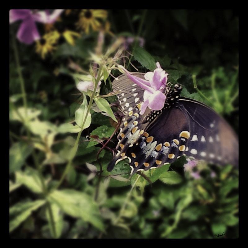176 1020 Black Swallowtail 7.5.jpg