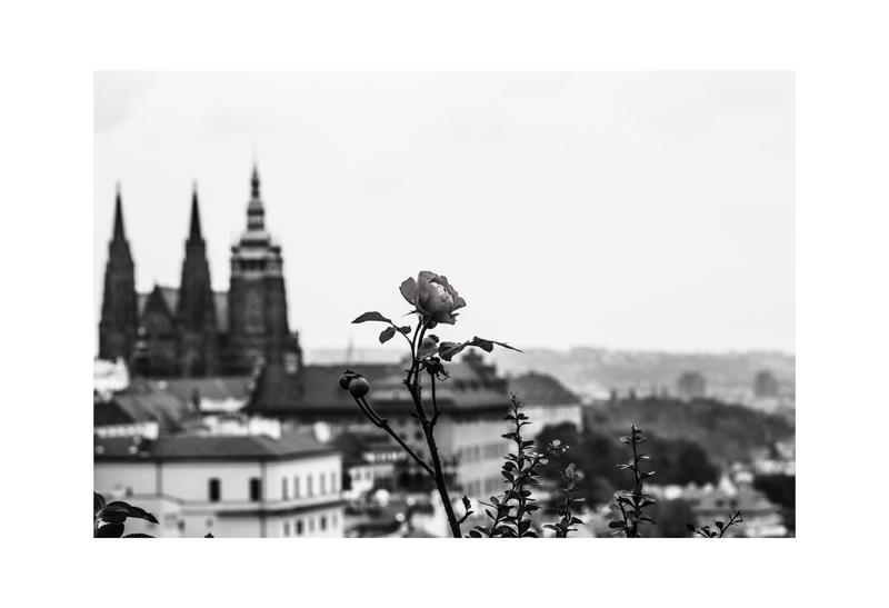 Bellavista Rose.jpg