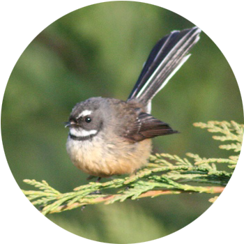 Fantail / Piwakawaka  Easily recognised by its long tail which opens to a fan.  Known for its friendly 'cheet cheet' call and energetic flying antics, the aptly named fantail is one of the most common & widely distributed native birds on the New Zealand mainland.
