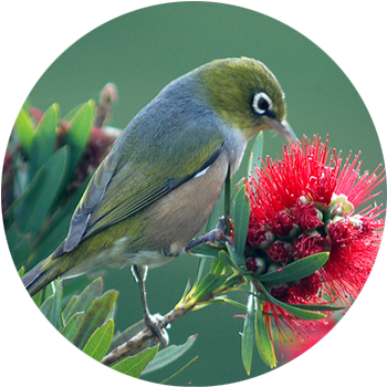 Wax-eye / Silvereye  The wax-eye, also known as the silvereye – is a small olive green forest bird with white rings around its eyes.  These friendly birds were self introduced in the 1800s and now have a wide distribution throughout New Zealand. They have made the forest their home & are now among the most common bird in suburbia too. They have a pleasant subtle call as they move, in a flock through the forest.