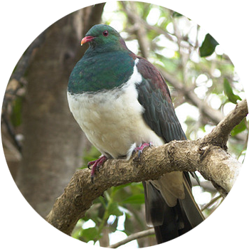 KererŪ / Wood Pigeon  The Kererū is a large bird with irridescent green and bronze feathers on its head and a smart white vest. The noisy beat of its wings is a distinctive sound in our forests.  New Zealand's native pigeon is the only disperser of large fruits, such as those of karaka & taraire, we have. The disappearance of the Kererū would be a disaster for the regeneration of our native forests.