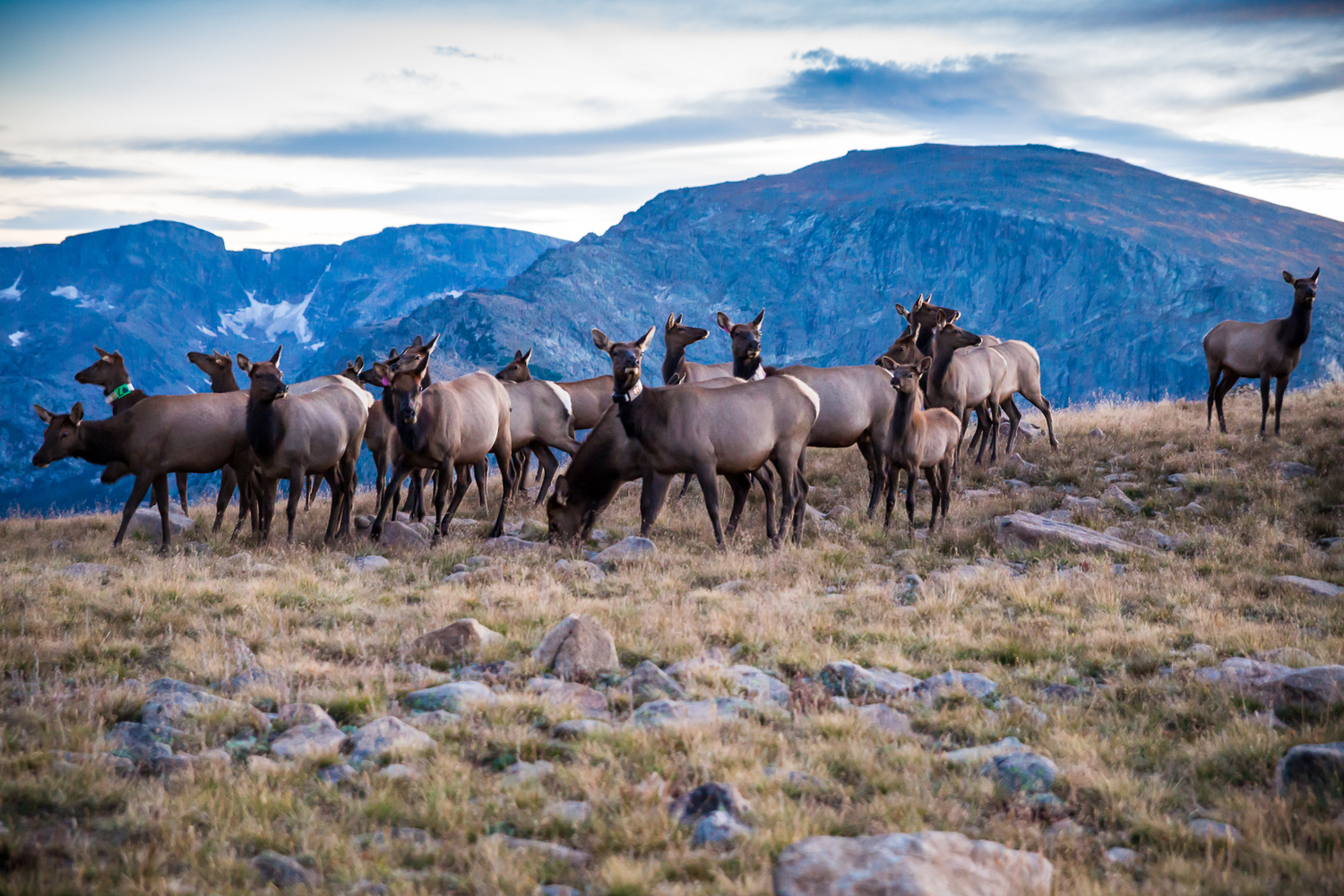 HERD OF ELK AT FOREST CANYON OVERLOOK