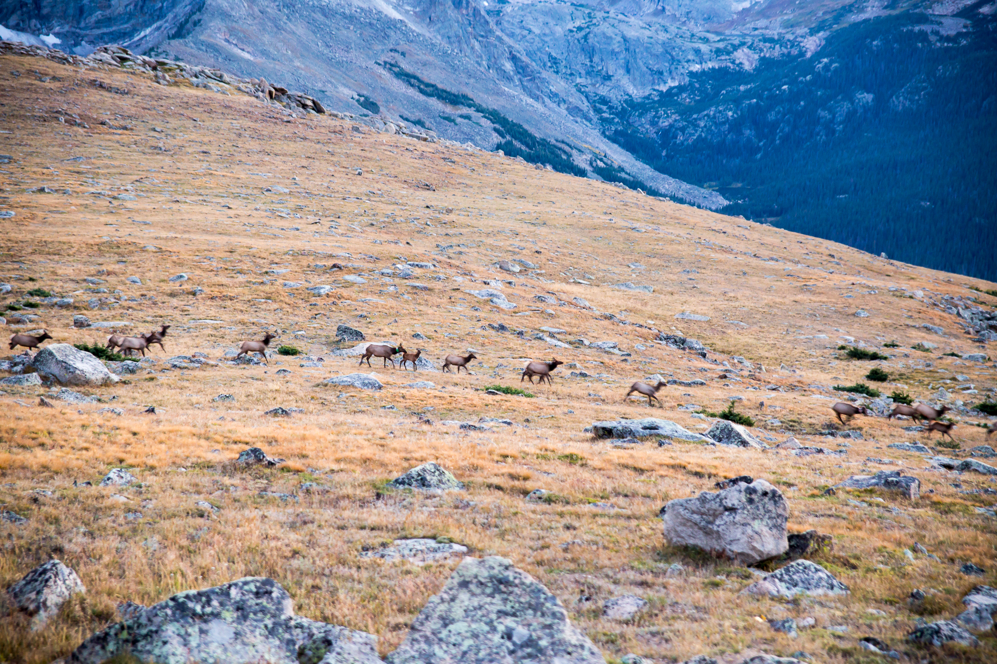 HERD OF ELK GOING DOWN THE MOUNTAINS