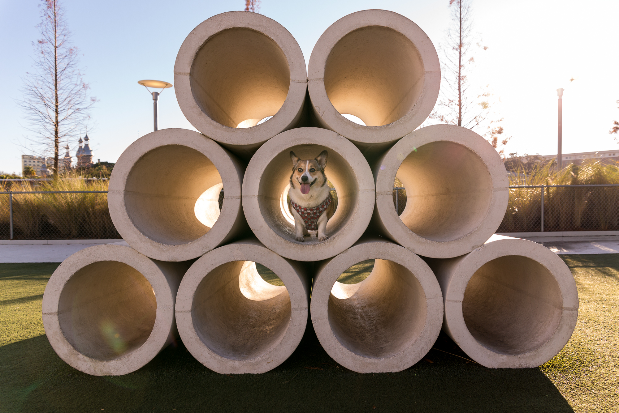 Kuma playing in the dog park