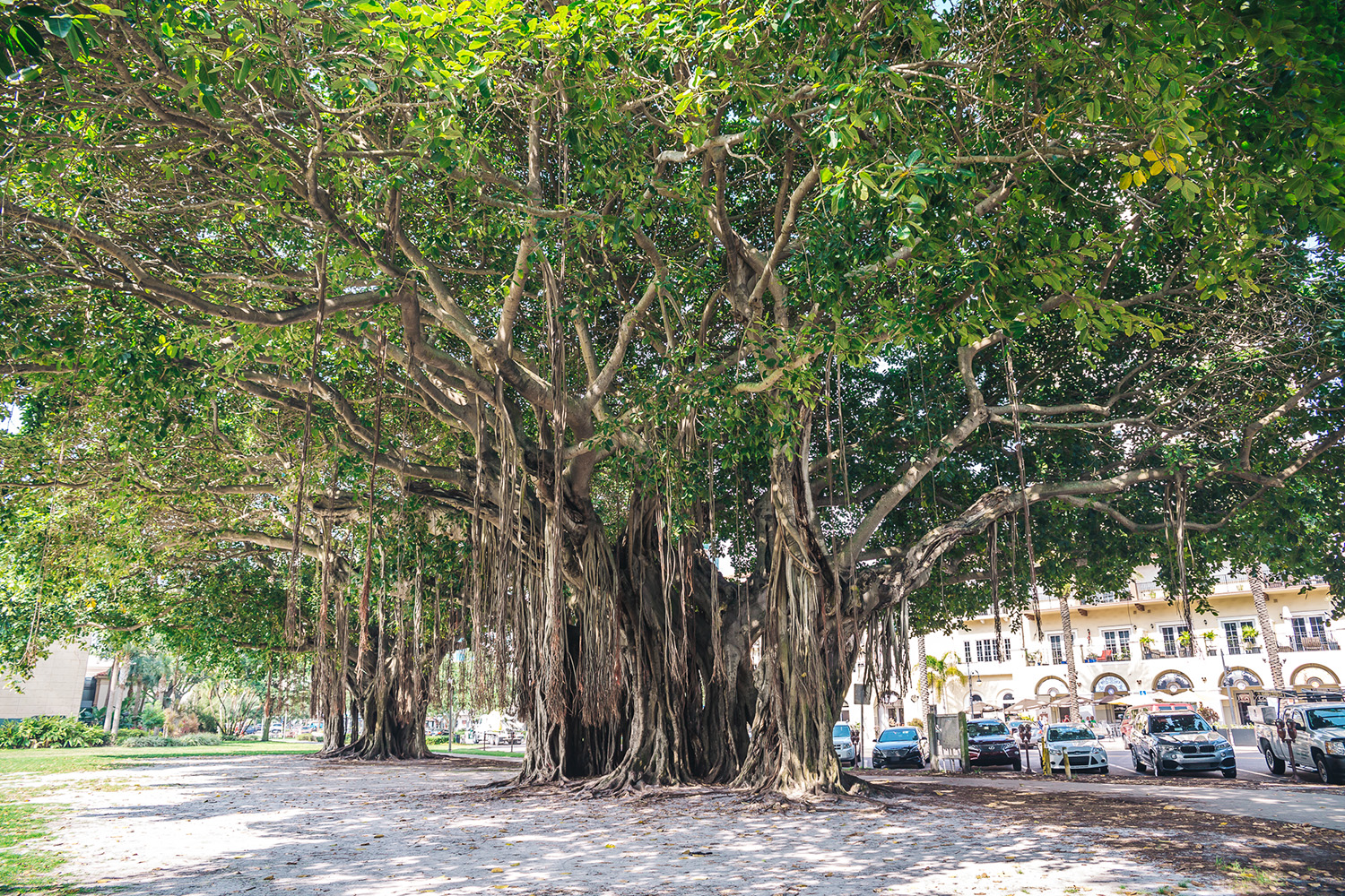 Giant banyan tree in Vinoy Park