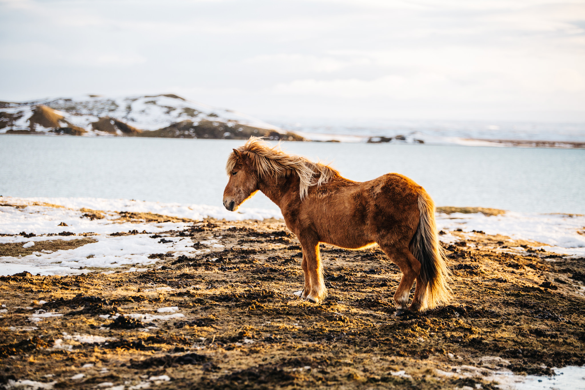 Icelandic Horse in Myvatn Iceland Mountains www.thetravelpockets.com