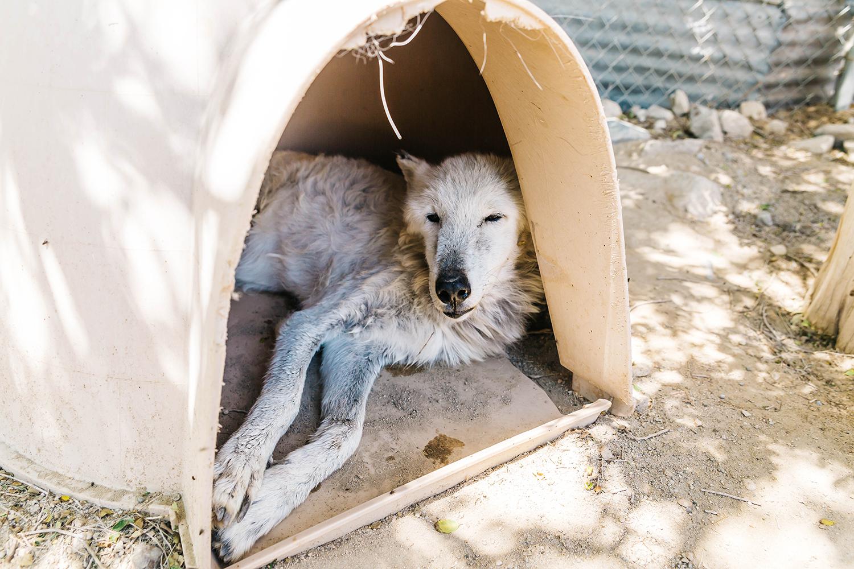 Shatawanada - 14 year-old wolf
