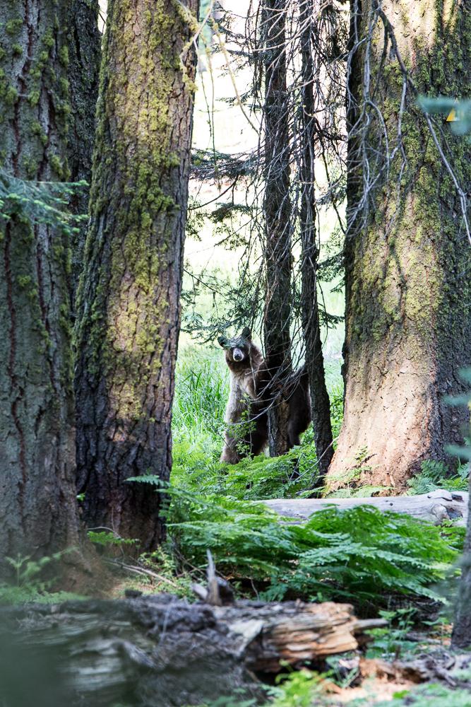 Mama bear watching her cute little cubs