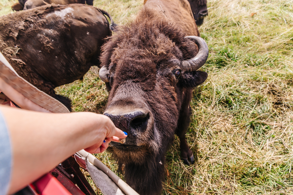 Feeding the friendly bison at Bison's Cook Ranch