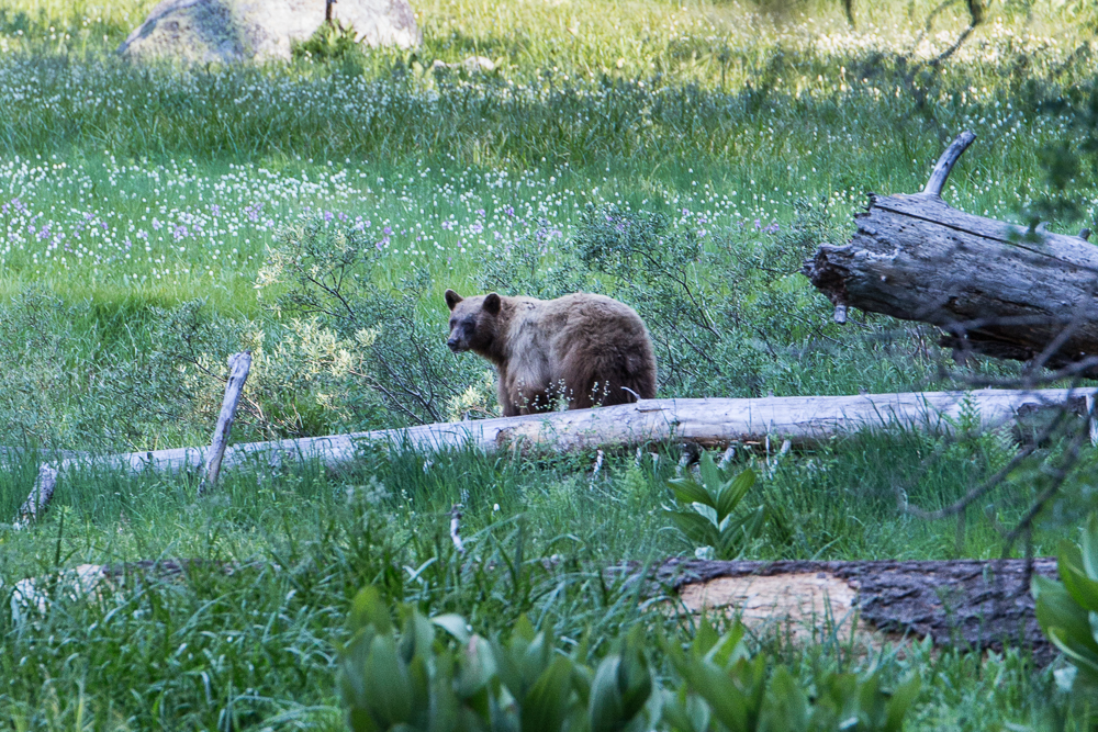 Immediately spotted a bear at Crescent Meadows