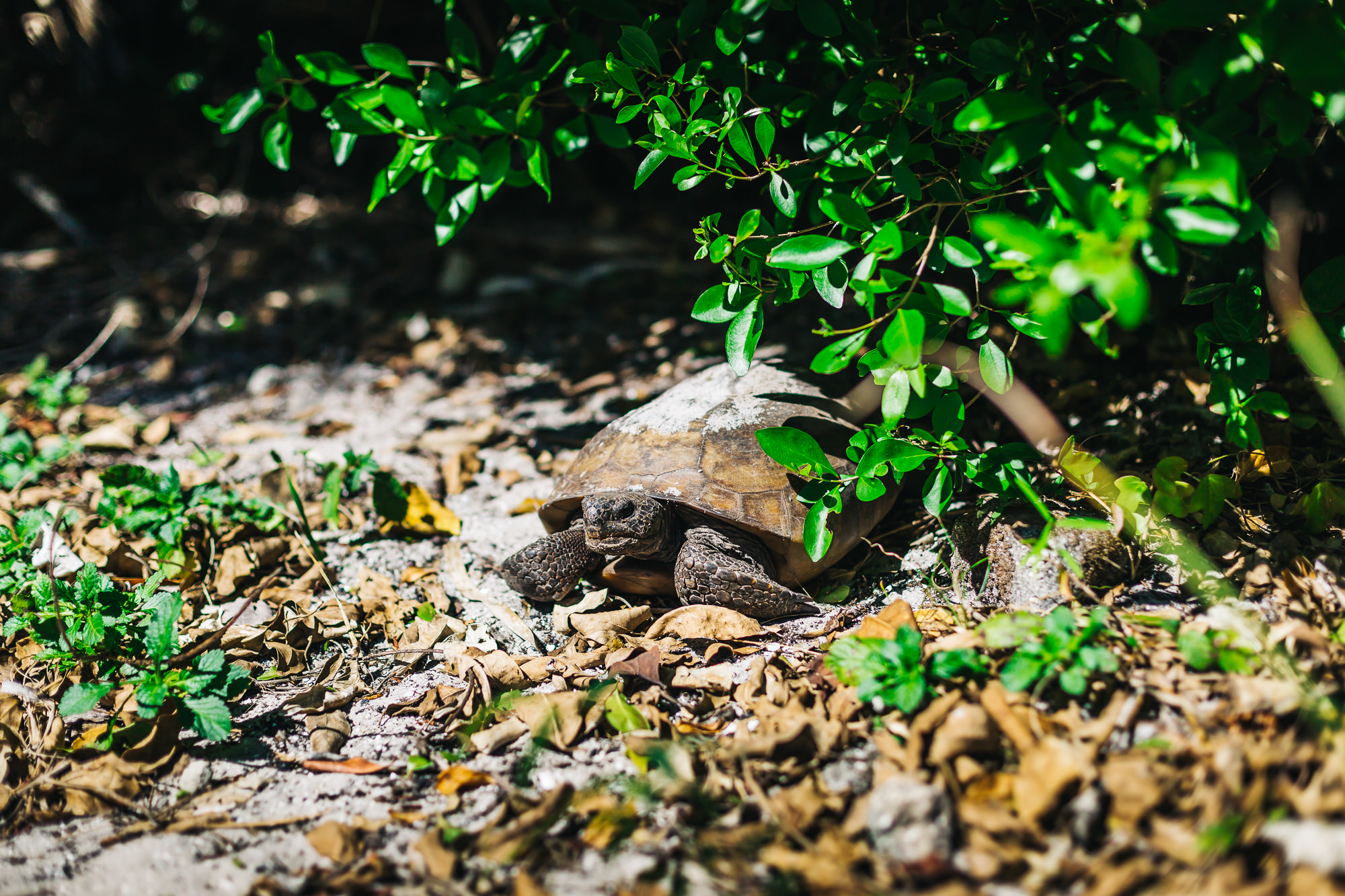 The Egmont Key gopher tortoises are commonly found roaming the brick roads and trails of the island year-round