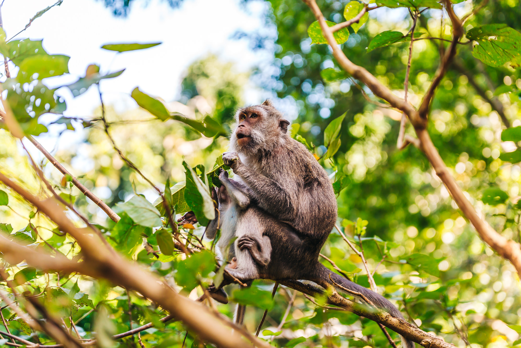 Playful monkeys of   Sacred Monkey Forest