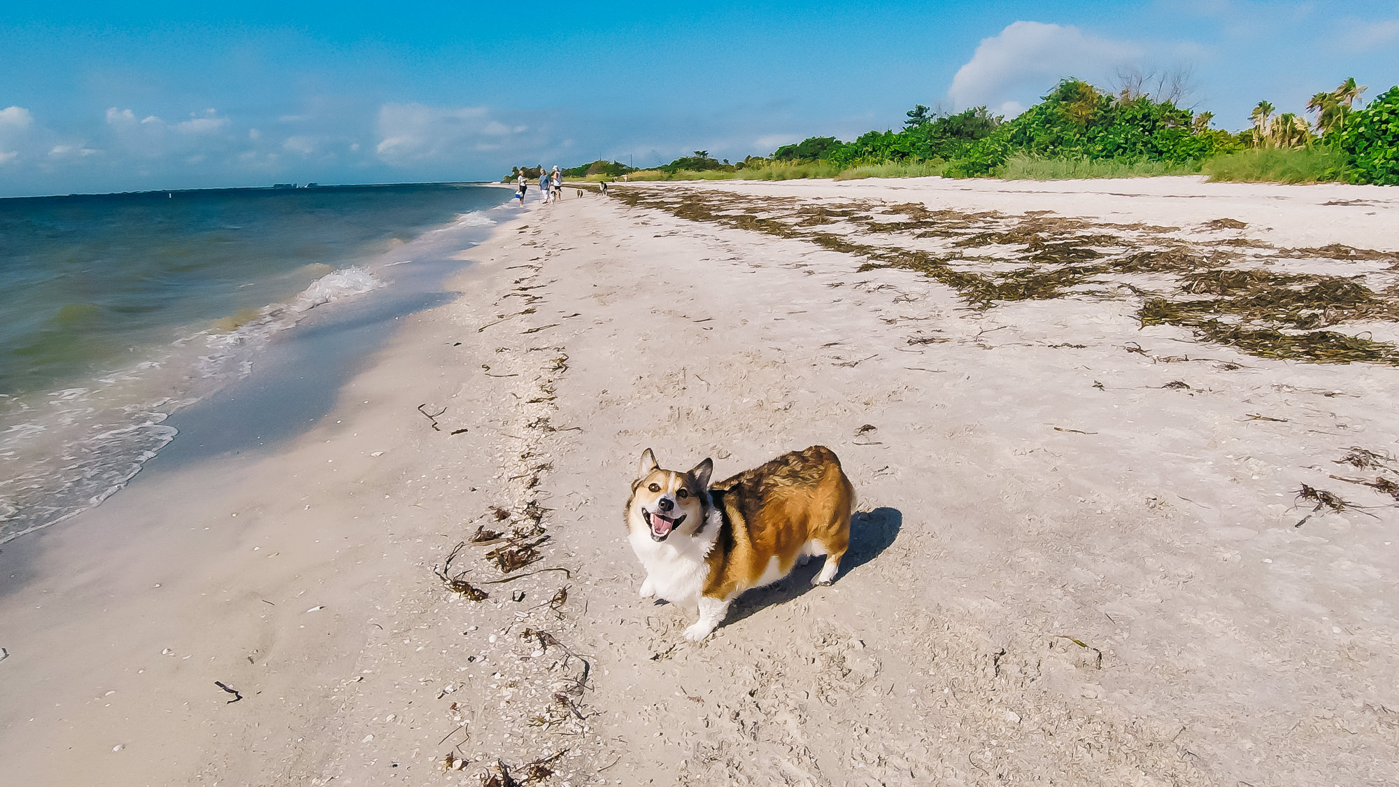 Kuma loves to run around the dog beach at Fort De Soto