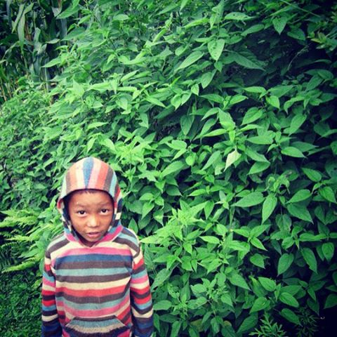 This is Stinging Nettle AKA Urtica dioica, and 'sisnu' in Nepali, in a pic with a cutie from Karmidanda. This nutritious multi-tasking herb is famed to be helpful in so many common conditions like eczema and allergies. Today I'm nerding out on its mild diuretic effects.  Translation: it makes you pee more.  That's a common approach to treating high blood pressure.  Studies show that it works differently from the popular diuretics HCTZ and Lasix, so isn't associated with their most bothersome side effects.  Interesting! In Nepal they don't really see it as a medicine, just a yummy green that they cook up when it's in season. #FoodAsMedicine #PlantMedicine #HerbalMedicine #NaturopathicDoctor #NaturopathicMedicine #Nettle #StingingNettle #Urtica #Sisnu #Diuretic #Hypertension #HighBloodPressure #HerbNerd #Farmacy #Nepal