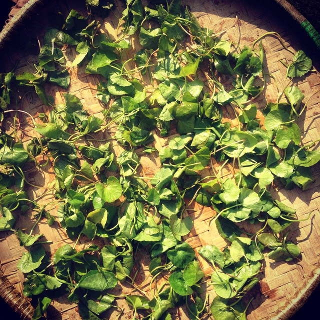 Meet my friend Gotu Kola, Ghodtapre in Nepali. It's an herb with a cooling tendency and many uses. It's known in the west for its ability to regulate the stress and anti-inflammatory hormone cortisol. Here in #rasuwa people drink the juice of the leaf to treat a fever. Some local kids brought this batch to me cause they know how much I love it! #herbnerd #karmidanda #herbalmedicine #naturopathy #globalnaturopath #ilovenepal
